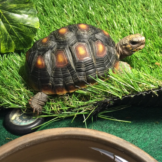 """My gorgeous young tort, basking under her twin heat and UV lamps on a bed of soft natural """"grass"""" with both a shallow water dish and a temp/humidity gauge nearby so her mommy can continuously monitor her environment."""