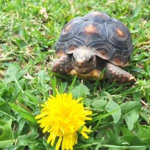Malti, aka a tortoise. (with delicious dandelion)