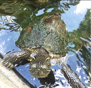 One of the turtles that lives in the garden pond behind our casa.