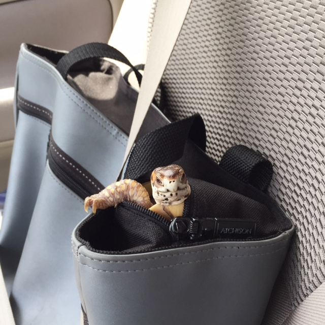 Bruce, en route with me to the vet....he scaled the inside of his soft cloth temporary carrier and rode like this for most of our short car trip!
